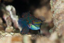 BD-161024-Pura-2638-Synchiropus-splendidus-(Herre.-1927)-[Mandarinfish].jpg